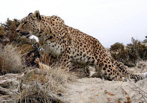 حمله پلنگ به دام های عشایر سیستان و بلوچستان