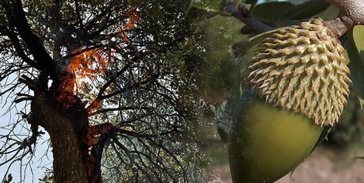 حال جنگل های بلوط با یاری فناوری های زیستی خوب می گردد