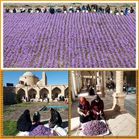تربت حیدریه میزبان 14 تور گردشگری داخلی و خارجی در مزارع زعفران