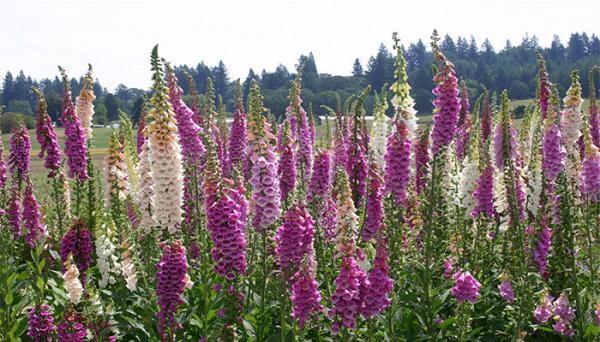 خواص گل انگشتانه در درمان بیماری های مختلف